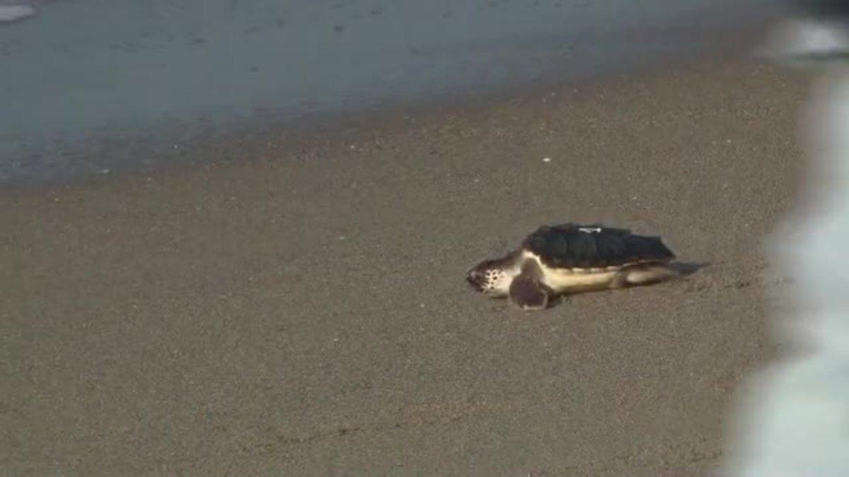 Liberadas al mar en Castelldefels 12 tortugas bobas criadas en cautividad