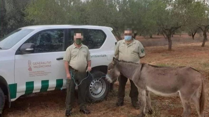 Agentes medioambientales rescatan en Cabanes otro burro 'fugado' del Desert