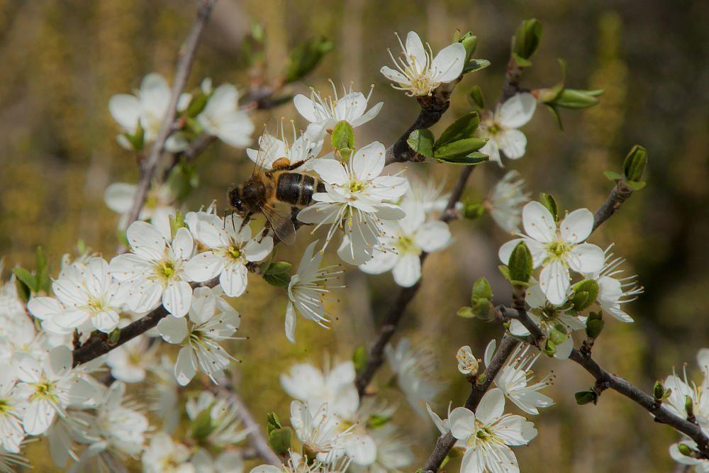 Pol·linització. Ja som a la primavera, temps de molta feina per als insectes, com les abelles que veiem a la imatge, amb la bossa de pol·len a les potes.