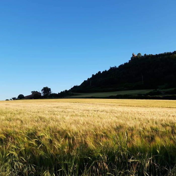 Cereals. A la imatge que ens ha fet arribar un dels nostres lectors podem veure un bonic camp de cereals, el qual, segons sembla, ja està a punt per a la recollida.