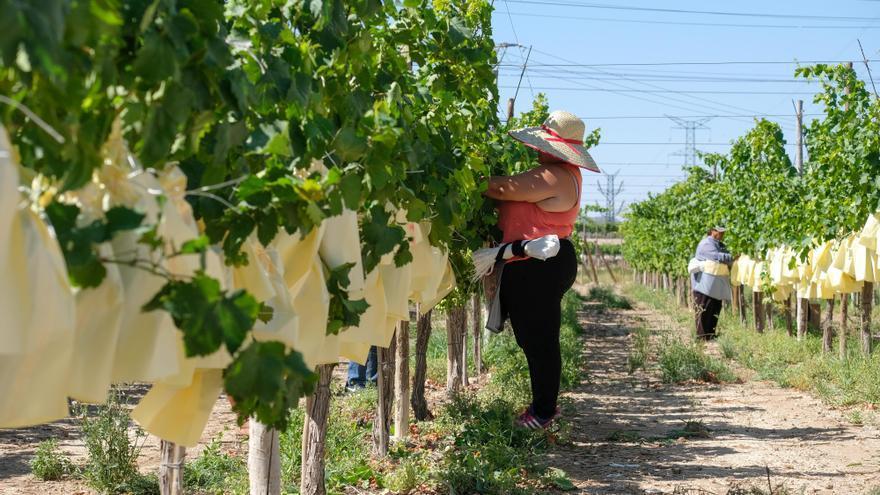 Los alcaldes del Vinalopó exigen una rebaja del IRPF para la uva de mesa