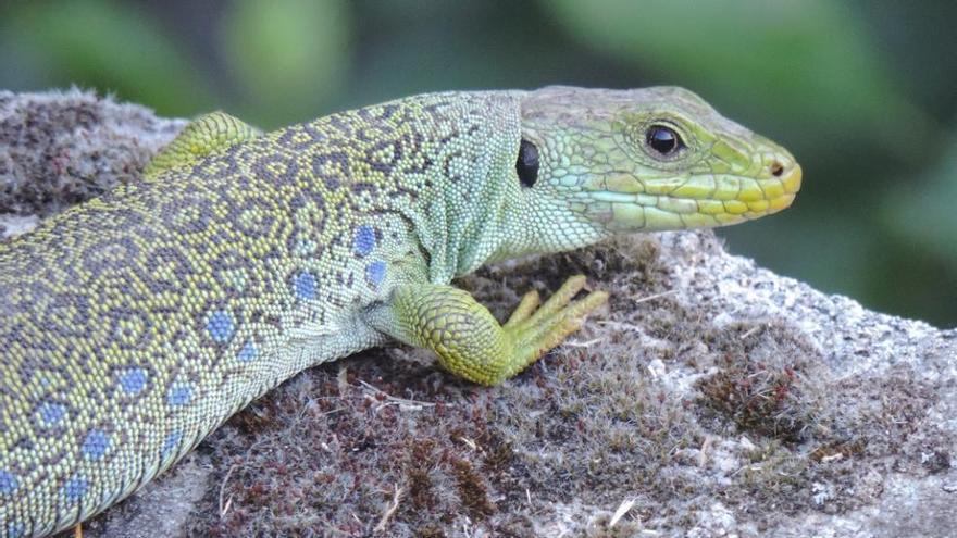 La fauna anfibia y y reptilia de la Sierra de Gredos