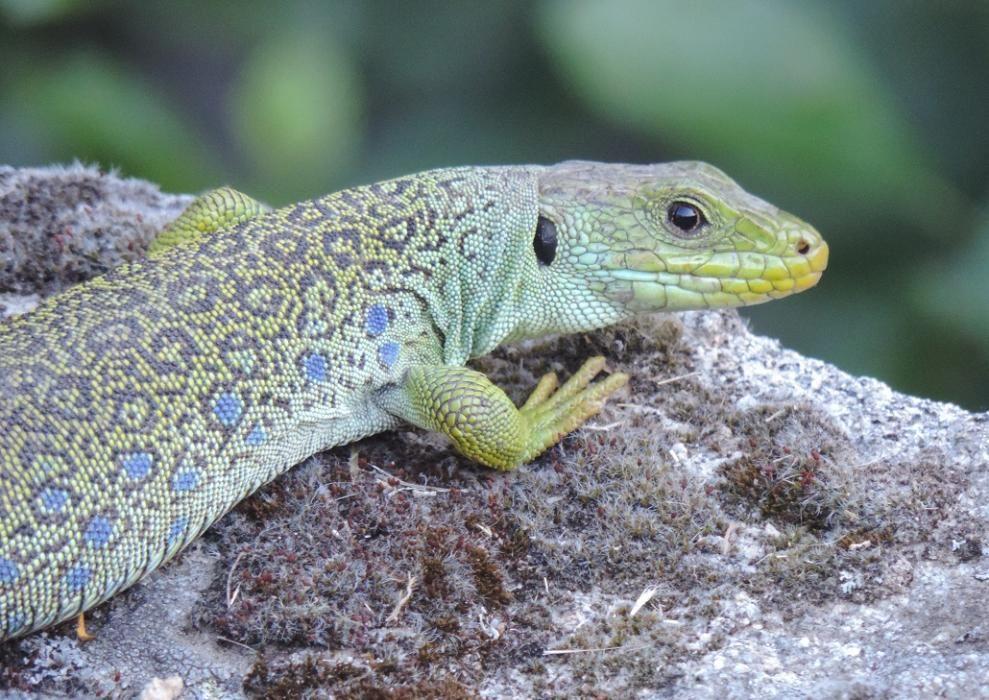 Todos los anfibios y reptiles de la Península Ibérica están protegidos por la ley.