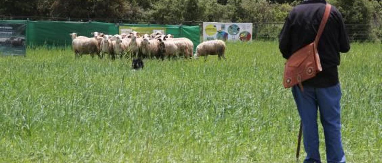 Un pastor y su rebaño de ovejas en el concurso de Ares.