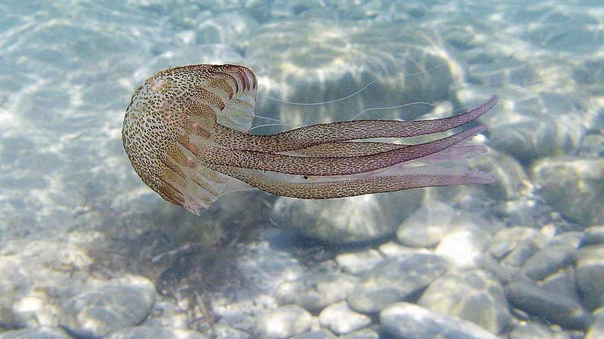 Investigación sobre medusas en el archipiélago balear