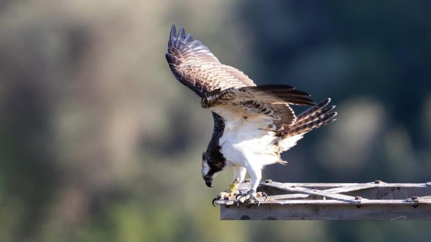 Un ejemplar de águila pescadora muere electrocutada en l'Albufera