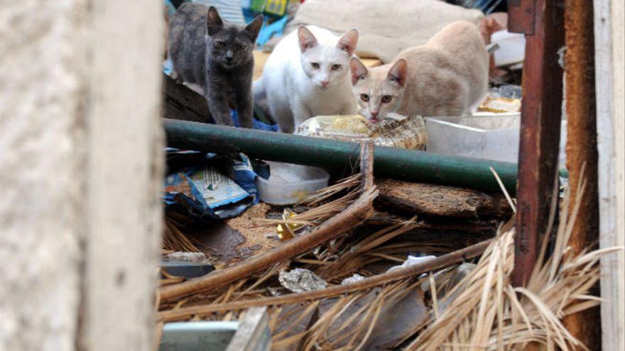 Autorizadas 29 colonias de gatos para esterilizar en Santa Cruz de Tenerife