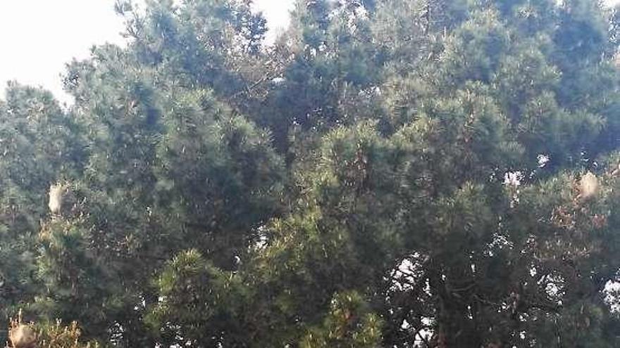 La plaga de la procesionaria aumenta en el pino municipal de Perillo