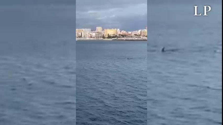 Una pareja de delfines juega en Las Alcaravaneras