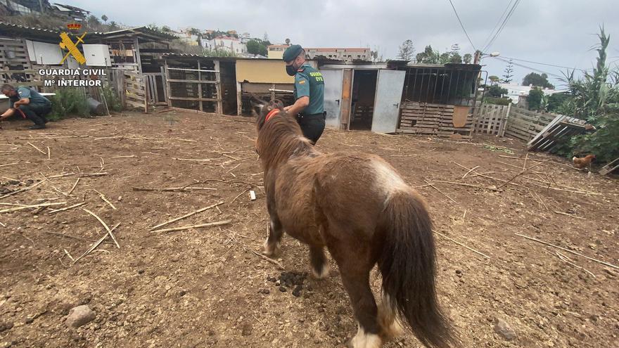 Investigan a un hombre por descuidar en Canarias a un poni en su finca