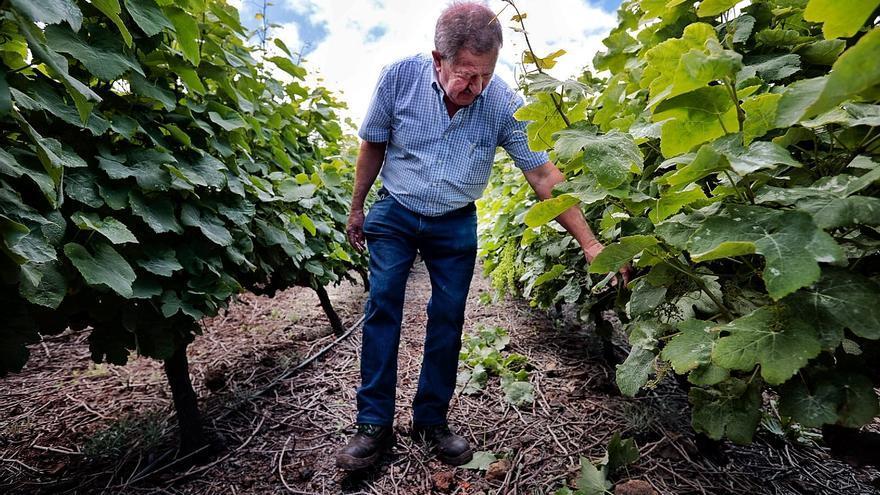 La viña de Canarias se muere de vieja