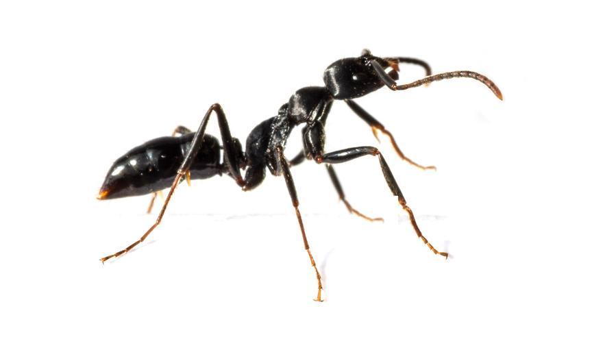 Trucos caseros para eliminar las hormigas en casa