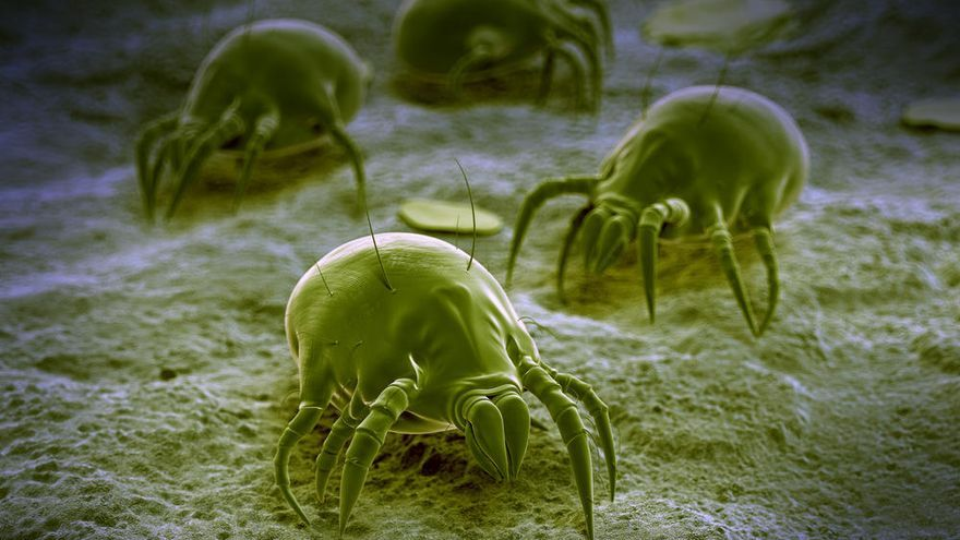 Descubren cómo los ácaros del polvo provocan alergia