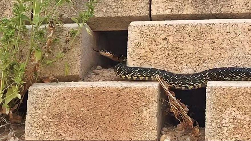 Serpientes «de ciudad» en Elche