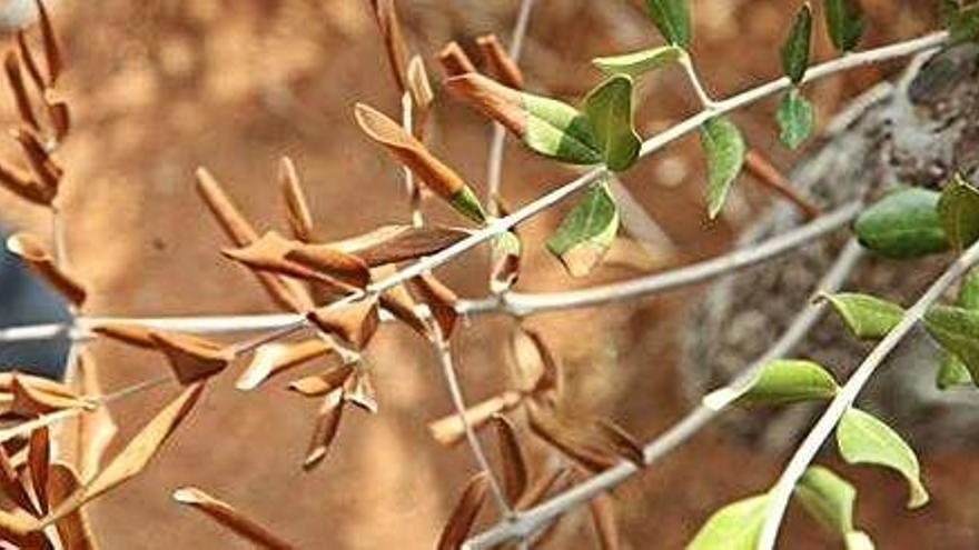 Formentera no baja la guardia en la lucha contra la Xylella Fastidiosa