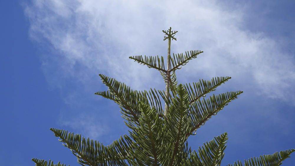 Avet. En aquesta imatge tan bonica es pot apreciar un avet, que és un arbre molt especial en aquestes dates. Aquest és realment especial, ja que té uns créixens tan simètrics que s'hi pot veure ben bé una estrella de Nadal.
