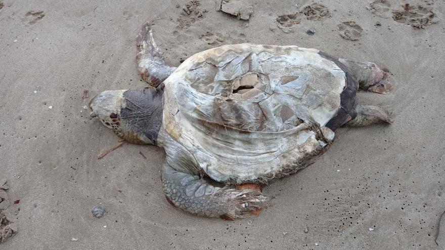 Encuentran muerta una tortuga boba en una playa nudista de Orpesa