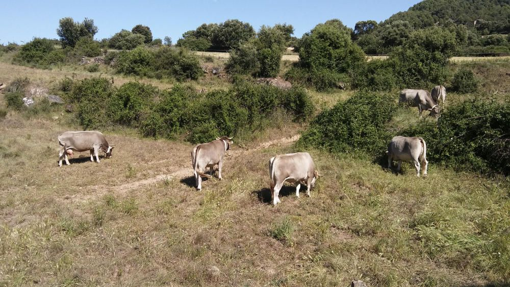 Pasturant. L'espècie humana ha modificat l'ecologia dels ecosistemes de mitjana i alta muntanya per generar pastures aptes per a la ramaderia extensiva. En aquesta imatge podem veure vaques pasturant