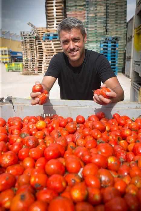 La cooperativa de La Llosa prepara los tomates para la Tomatina 2018,