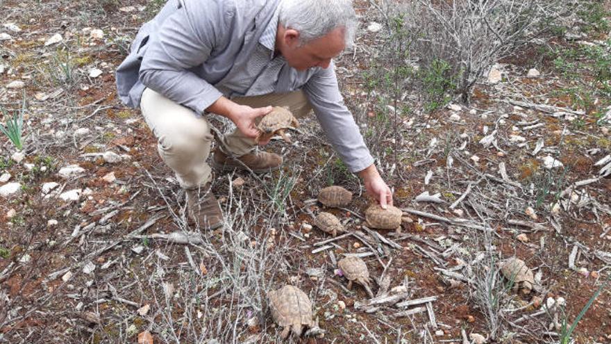 170 Griechische Landschildkröten in Llucmajor freigelassen