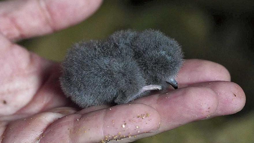 Un ave de 28 gramos vuela mil kilómetros para comer