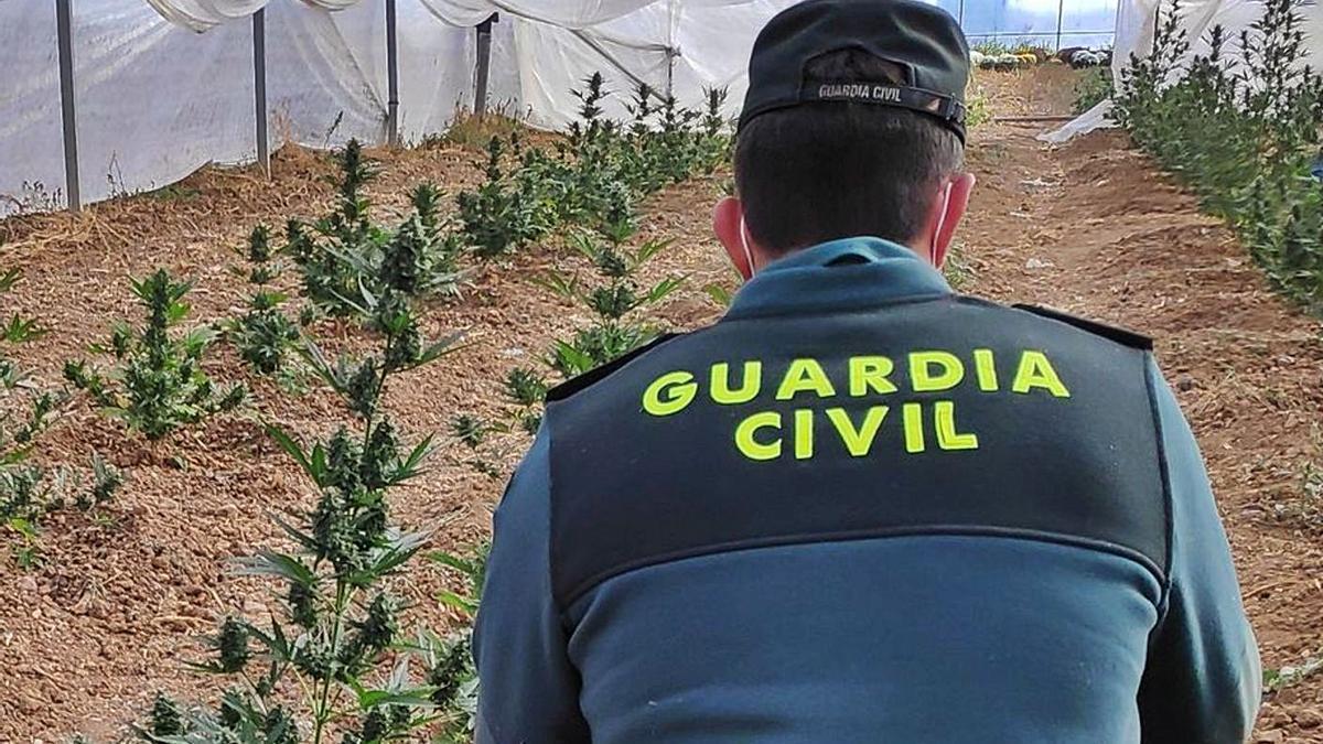 Plantación de marihuana intervenida por la Guardia Civil de Zamora. | Cedida