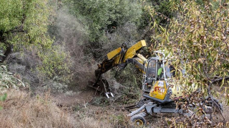 El sexto brote de «Xylella» desata la alarma en el campo al afectar a medio centenar de municipios