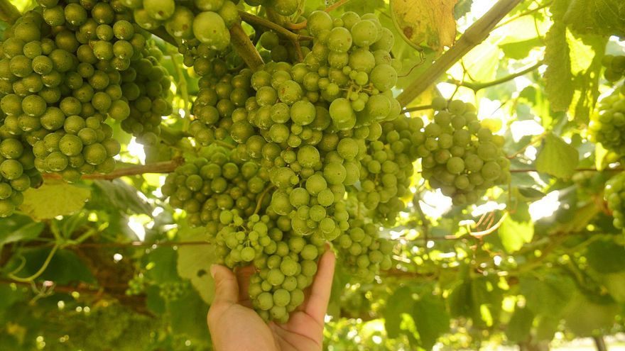 ¿La uva?, buena y abundante