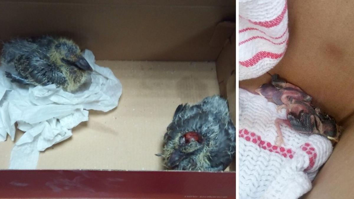 Las cuatro crías de polluelos y gorriones que fueron hallados en Vigo.