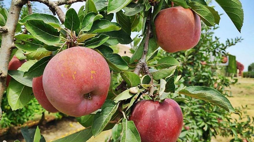 Poma de Girona exporta 25 milions de quilos a l'any a l'estranger