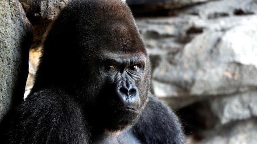 Herida grave una cuidadora del zoo de Madrid tras ser atacada por un gorila