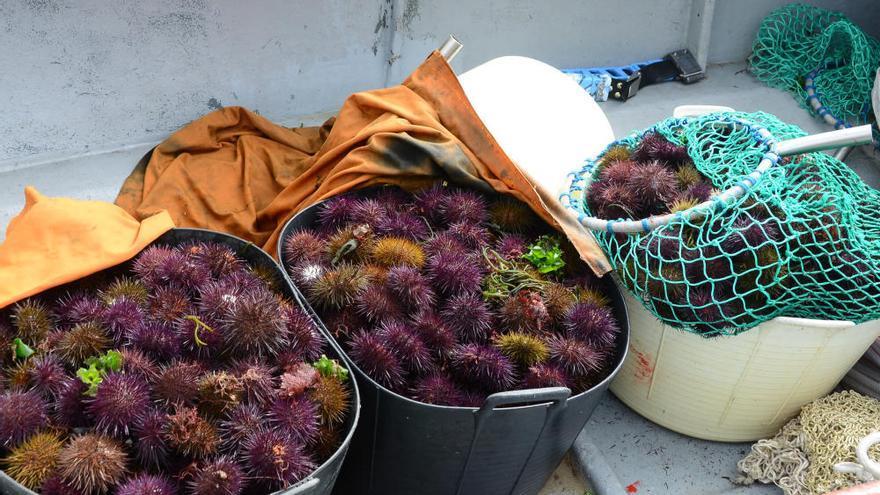Bueu y Cangas abren la campaña del erizo con 800 kilos y precios que llegan a los 11 euros