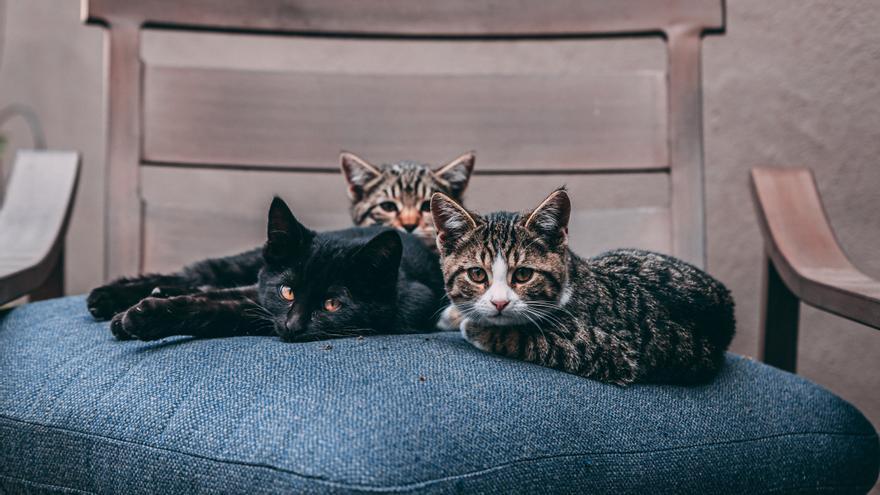 Diez razas de gatos que adoran a sus dueños