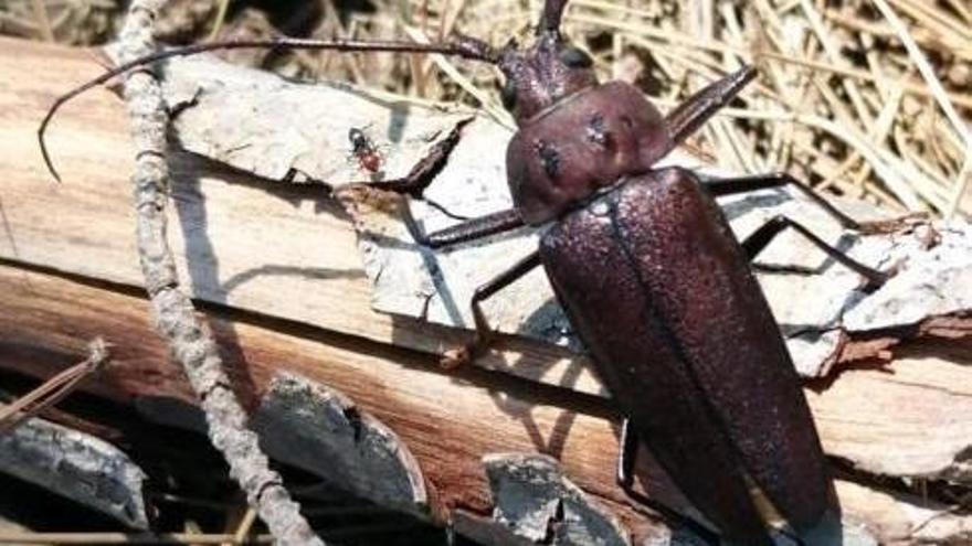 Sanidad Forestal confirma la presencia en Ibiza de una especie de escarabajo de grandes dimensiones