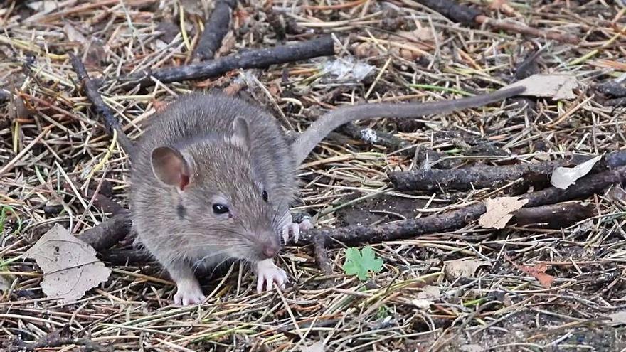 """El Concello sostiene que se detectan """"menos ratas"""" pese a que aumenta la preocupación en los parques"""