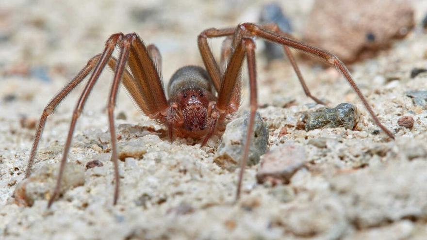Das ist die Spinne, deren Biss einem Urlauber zwei Finger kostete
