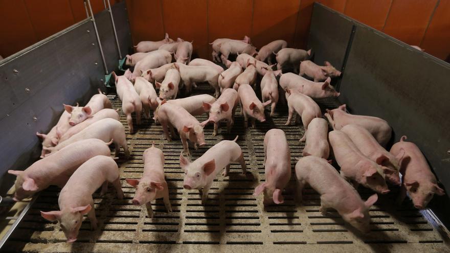 El 58% de las granjas de cerdos está en pueblos de menos de 1.000 habitantes