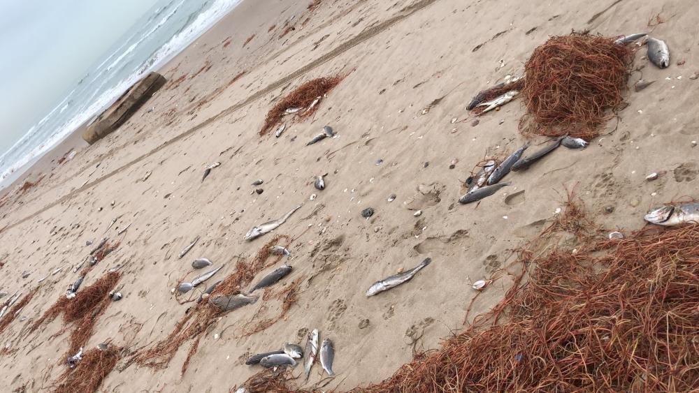 Peces muertos en la playa del Perellonet.
