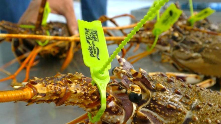 El Consell destaca la apuesta del sector por la sostenibilidad en la pesca de la langosta
