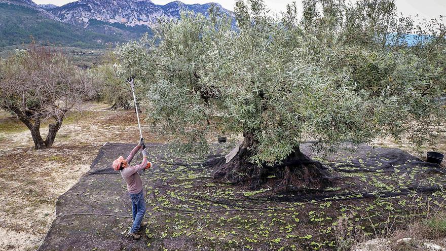 Alicante albergará la primera asociación para certificar el aceite de oliva virgen extra