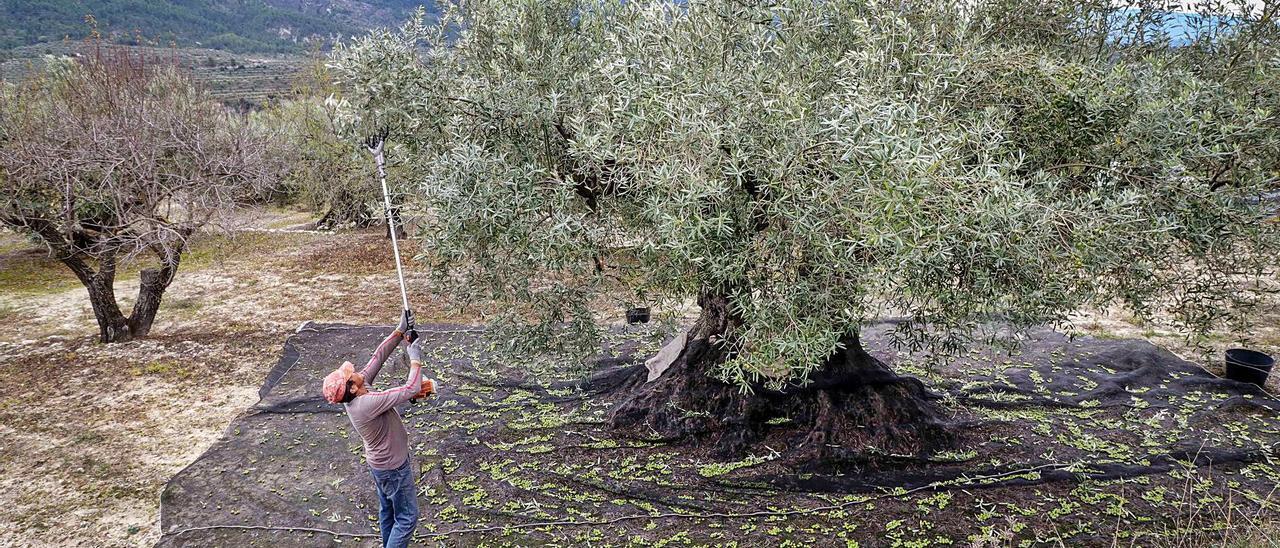 Tareas de recolección de la aceituna, en el interior de la provincia.    JUANI RUZ