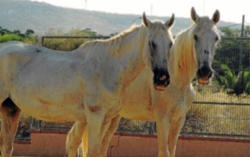 Dicen que, cuando dos caballos se hermanan, sólo la muerte puede separarlos. Blanca y Clara son dos yeguas que vivieron con nosotros durante unos meses. Abandonadas pero rescatadas, hoy envejecen juntas, tranquilas, sabiendo que ya nadie volverá a maltratarlas.