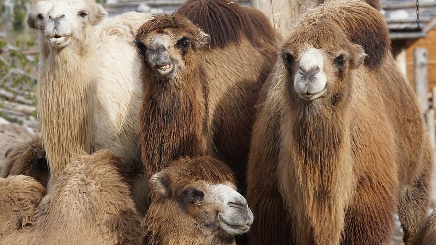 Los camellos son animales apacibles