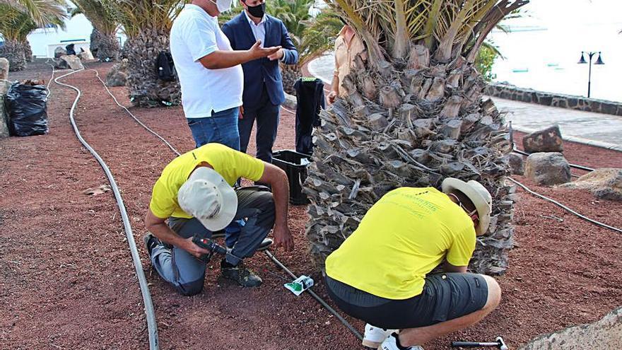 Yaiza somete a tratamiento a 300 palmeras del municipio para controlar el 'picudín'