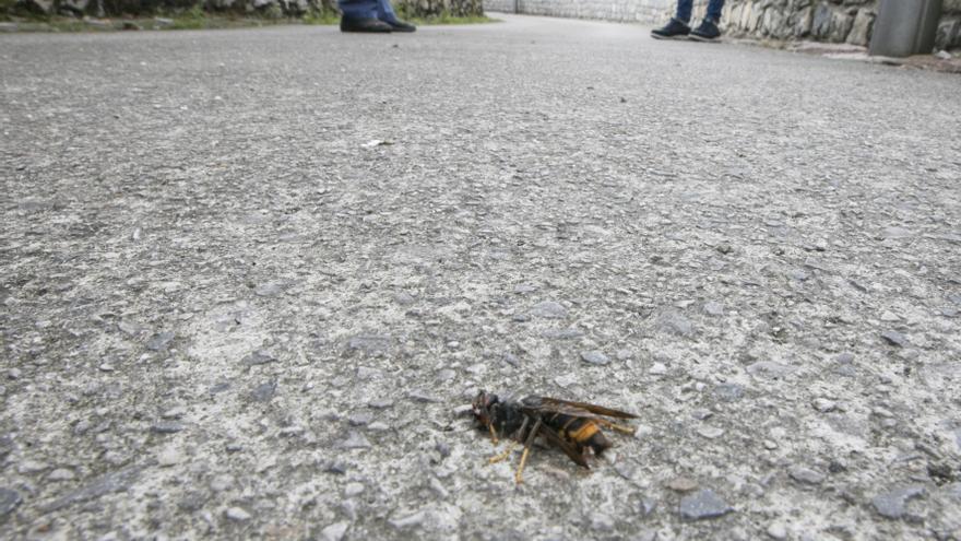 Sariego iniciará este viernes la campaña de primavera contra la avispa asiática