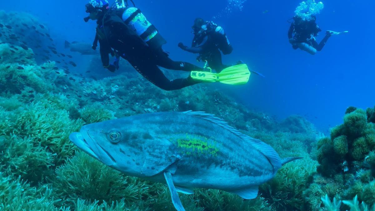 El mero es una de las especies más comunes que pueblan los fondos cartageneros.