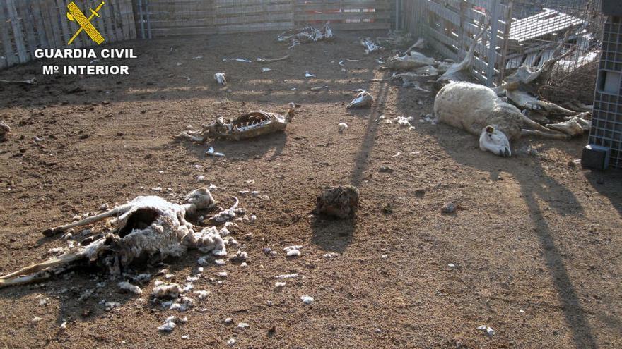 Hallan una granja de ovejas que vivían con otras muertas