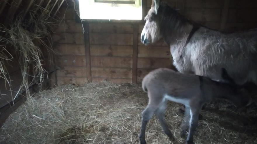 Crece la familia de burros fariñeiros de A Toxa
