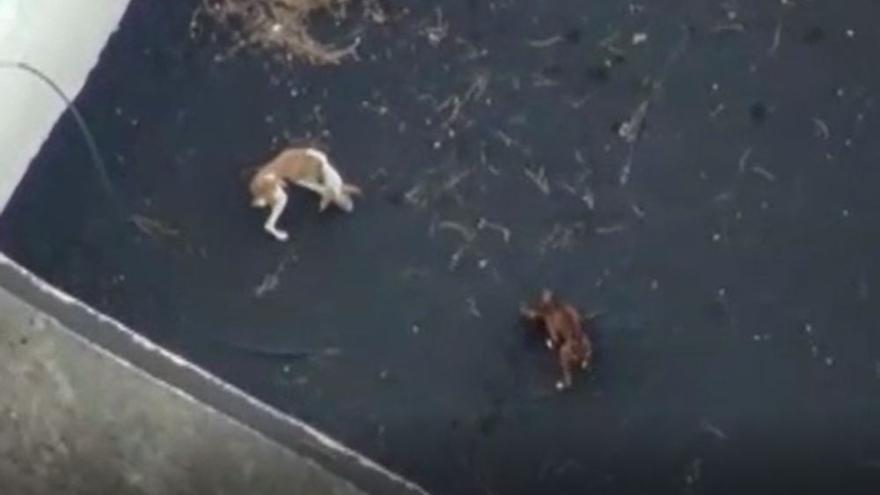 Autorizan el uso de drones para rescatar a los perros atrapados por la lava