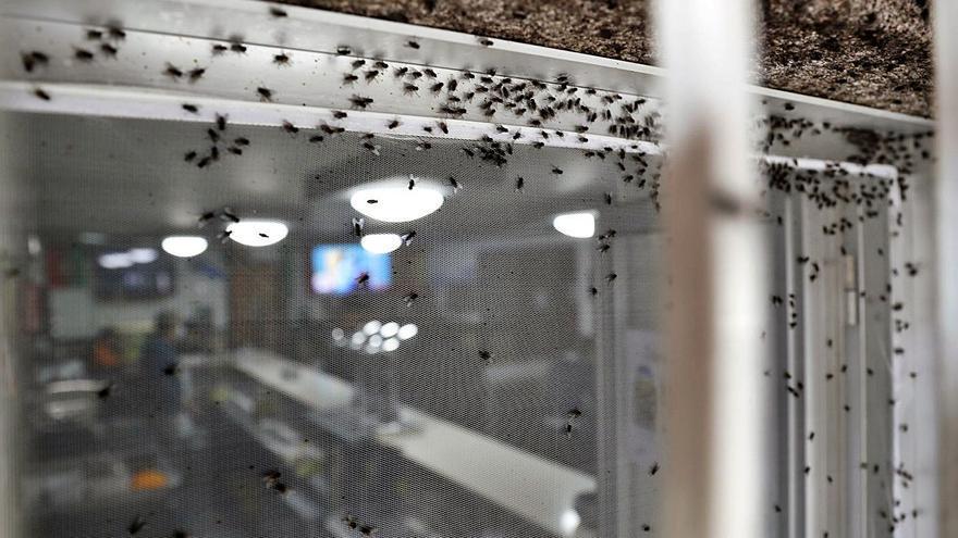 Una plaga de moscas invade Gondomar